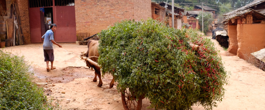 Bringing home the harvest in Shi Niu (stone cow) Miao village.